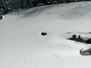 熊には遭遇しませんでしたが兎や雉の足跡がいたるところに。